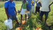 a FAO au soutien de 1,2 million d'Haïtiens en insécurité alimentaire aiguë sévère